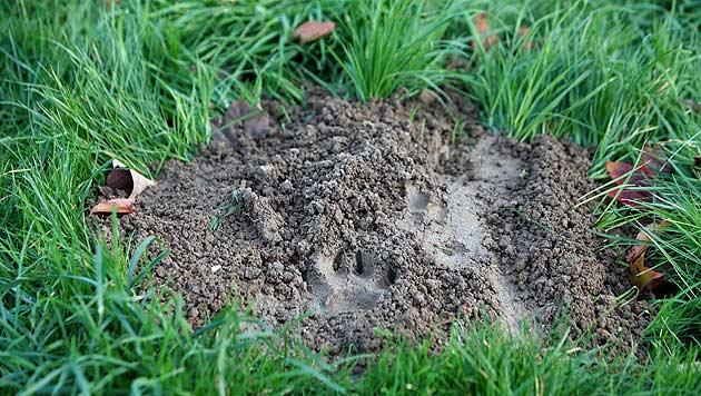 Zunächst deutete man diese Spuren als Pfotenabdruck eines jungen Tigers. (Bild: AP)