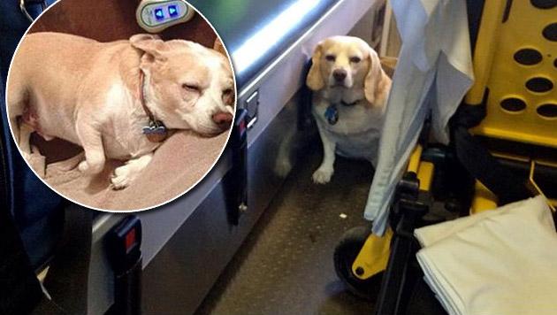 """Beagle """"Buddy"""" folgte Herrchen ins Krankenhaus (Bild: twitter.com)"""