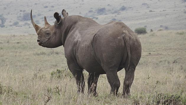 Nashörnern werden vorsorglich Hörner abgetrennt (Bild: thinkstockphotos.de)