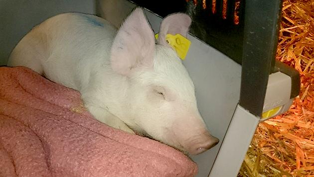 """Schweinchen """"Risi Pisi"""" muss sich nicht vor der Schlachtung fürchten. (Bild: Tierparadies Schabenreith)"""