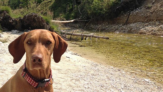 Hunde verarbeiten Sprache ähnlich wie Menschen (Bild: Kronen Zeitung)