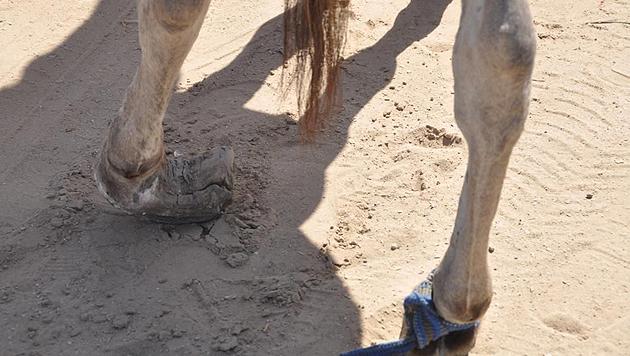 Hilfe für die Arbeitsesel von Mauretanien (Bild: Verein RespekTiere)