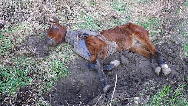 """Mehr tot als lebendig wurde """"Polly"""" gefunden. (Bild: RSPCA)"""