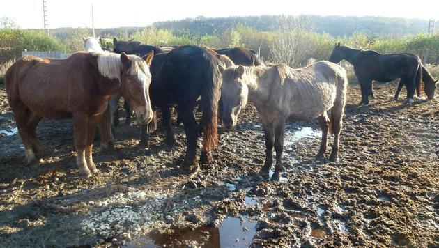Die Frau soll in Niederösterreich und Ungarn mindestens 90 Pferde gehortet haben. (Bild: APA/ANIMAL SPIRIT/UNBEKANNT)