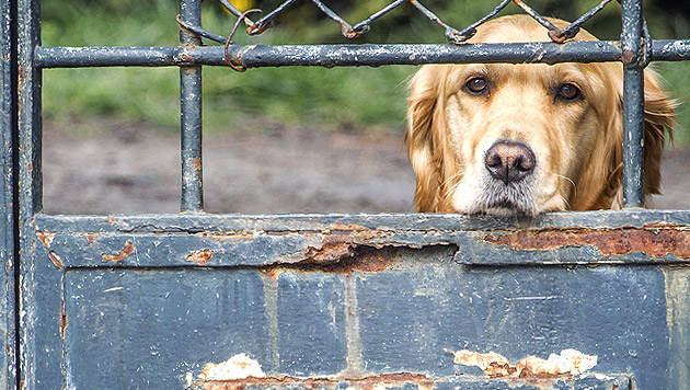 "OÖ: ""Tierschützerin"" ließ 38 Hunde verhungern (Bild: thinkstockphotos.de (Symbolbild))"