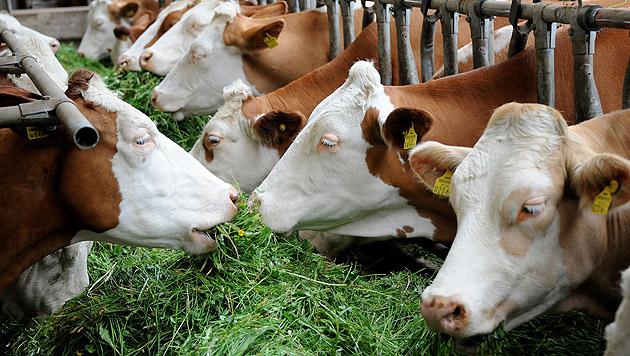 Landwirte machen ihre Tiere zu Therapeuten (Bild: APA/BARBARA GINDL (Symbolbild))