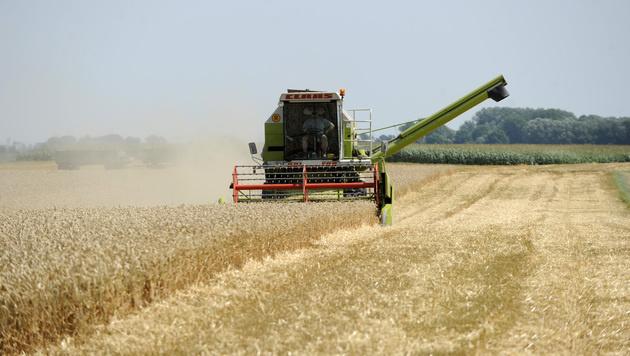Österreichs Felder bleiben frei von Gentechnik (Bild: APA/HERBERT PFARRHOFER)