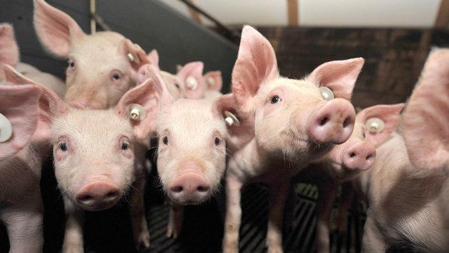 Was macht ein Schwein eigentlich glücklich? (Bild: APA/dpa (Symbolbild))
