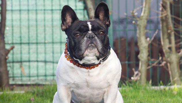 """Die Französische Bulldogge """"Emil"""" fand bei einer hundeerfahrenen Familie ein neues Zuhause. (Bild: Neumayr/BP)"""