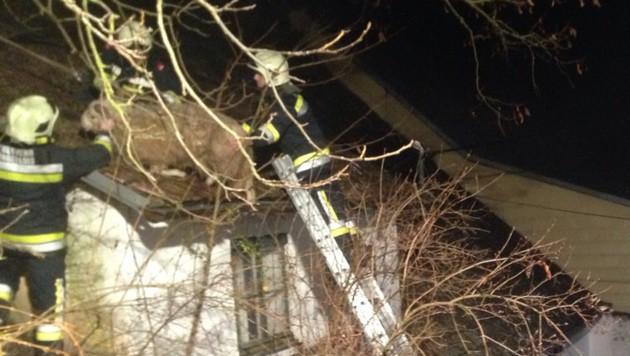 Schaf saß auf Dach fest - von Feuerwehr gerettet (Bild: FF Langenlois)