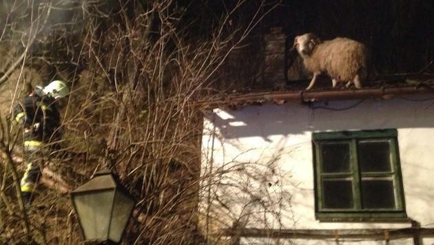 Das Schaf verfolgte den Rettungseinsatz offenbar mit stoischer Gelassenheit. (Bild: FF Langenlois)