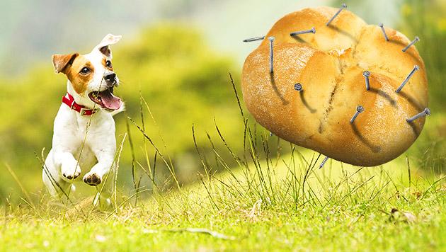 Hundefeind verstreute mit Nägeln gespickte Semmeln (Bild: thinkstockphotos.de, krone.at-Grafik)