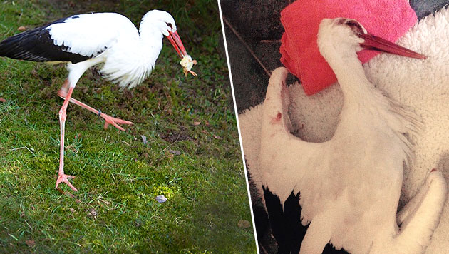 """Storch """"Rudi"""" wurde mit Steinen beworfen - bis er sich nicht mehr rührte. (Bild: facebook.com/NaturparkBuchenberg)"""