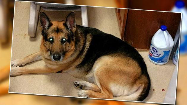 """Frauchens letzter Wille: Hund """"Bela"""" soll sterben (Bild: twitter.com/FOX19)"""