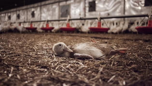 Durch Qualzucht setzen die Enten zu viel Muskelfleisch an und können nicht mehr stehen. (Bild: Animal Equality/Timo Stammberger)