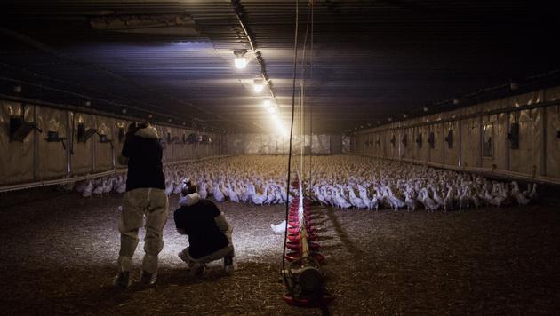 So leiden Enten in einem deutschen Mastbetrieb (Bild: Animal Equality/Timo Stammberger)