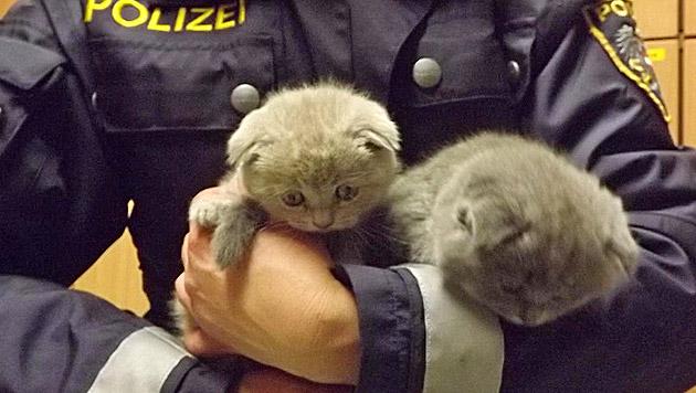 Vier Kätzchen in Wagen unter Schachteln versteckt (Bild: APA/LPD BURGENLAND/UNBEKANNT)