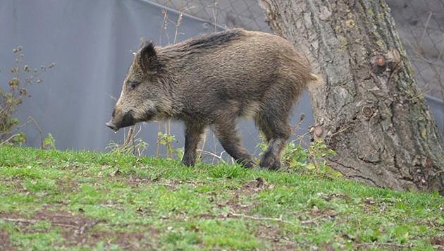 Das Wildschwein lief bis auf den Parkplatz des Wiener Tierschutzvereins. (Bild: WTV)