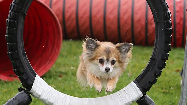 Auch der Reifen gehört zum Parcours und wird von dem kleinen Federgewicht gemeistert. (Bild: Uta Rojsek-Wiedergut)