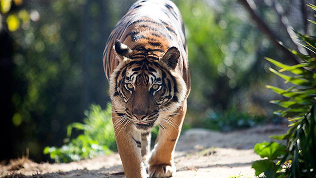 Nur 27 wilde Tiger leben derzeit in ganz China (Bild: APA/EPA/Abir Sultan (Symbolbild))