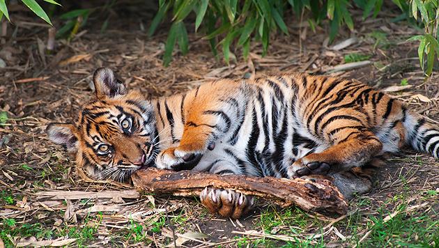 Seltene Sumatra-Tigerin fraß ihre beiden Babys (Bild: thinkstockphotos.de (Symbolbild))