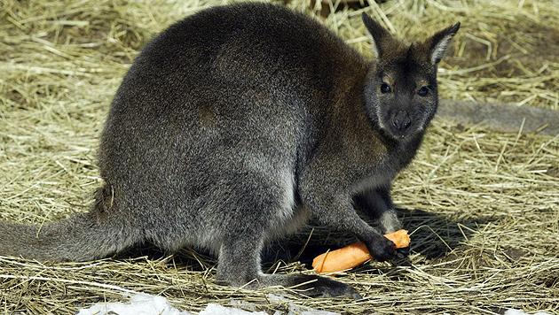 Mit Karotten und Äpfeln will man das Tier anfüttern. (Bild: Uta Rojsek-Wiedergut)