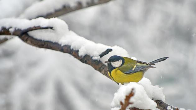 Wildvögel brauchen im Winter unsere Hilfe (Bild: thinkstockphotos,de)