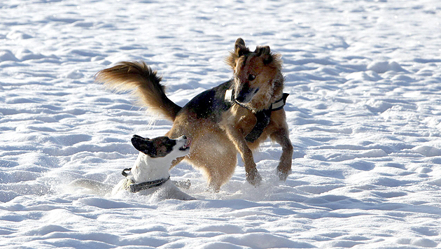 Tollen in der Winterlandschaft - doch Vorsicht vor giftigen Ködern! (Bild: Markus Tschepp (Symbolbild))