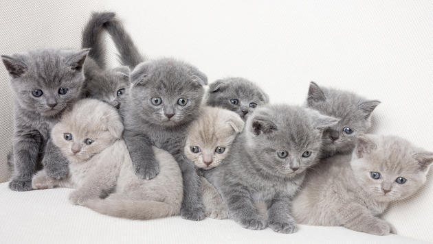 Katzenbabys aus Schmuggler-Auto beschlagnahmt (Bild: thinkstockphotos.de (Symbolbild))