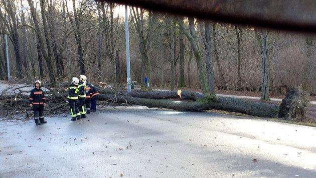 Ein umgestürzter Baum in der Hauptallee im Wiener Prater (Bild: APA/BERUFSFEUERWEHR WIEN (MA 68))
