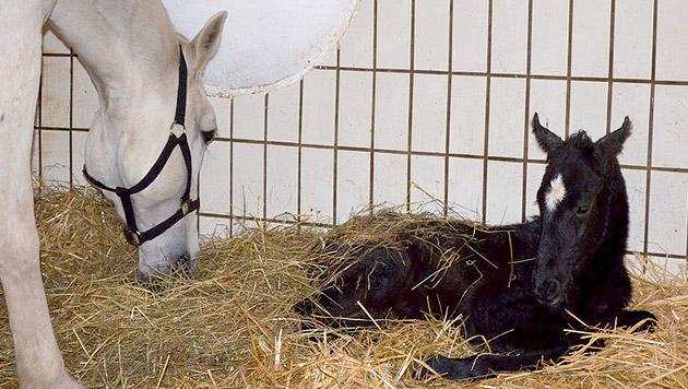 Erstes Lipizzaner-Fohlen im neuen Jahr geboren (Bild: Bundesgestüt Piber)