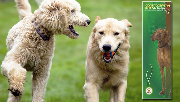 Spirale für den Hund: Kritik an Verhütungsmethode (Bild: thinkstockphotos.de, tilen klevisar)