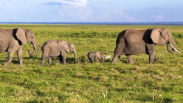 Mehr als 25% aller Elefanten in 10 Jahren getötet (Bild: thinkstockphotos.de)