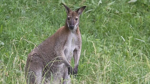 """Känguru """"Charly"""" hat bereits im Juni 2013 im Gailtal für """"Unterhaltung"""" gesorgt. (Bild: Uta Rojsek-Wiedergut)"""