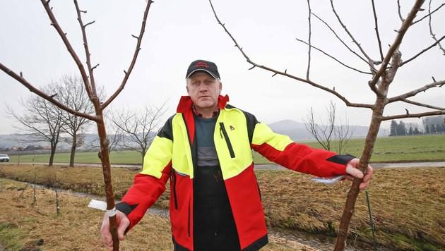 Landwirt Alfred Muckenhammer mit zwei der umgesägten Bäume (Bild: MARKUS TSCHEPP)