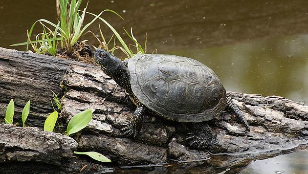Europäische Sumpfschildkröte braucht unsere Hilfe (Bild: thinkstockphotos.de)