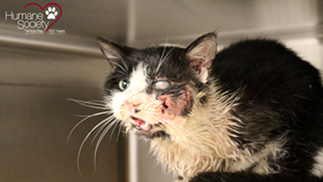 """""""Zombie""""-Katze erwacht von den Toten (Bild: Tampa Bay Humane Society)"""