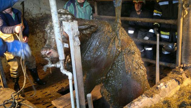 Die Kuh wurde aus der Güllegrube gerettet. (Bild: APA/FEUERWEHR WAIDHOFEN/THAYA/UNBEKANNT)