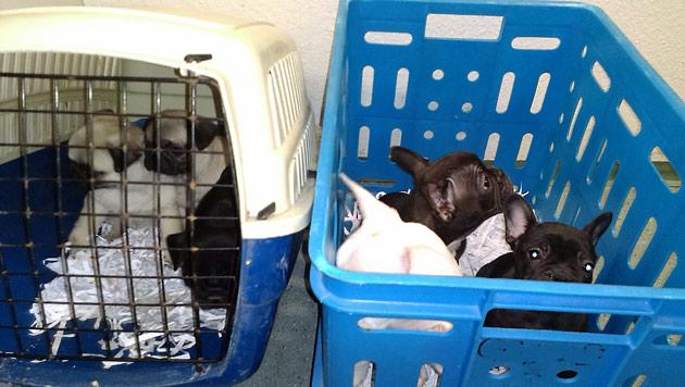 Die süßen Welpen wurden im Tierschutzhaus Vösendorf untergebracht. (Bild: Polizei)
