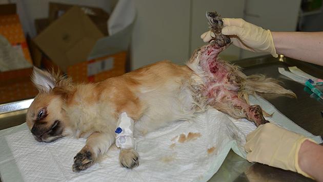 Die Hündin wurde schwer verletzt geborgen. (Bild: Wiener Tierschutzverein)
