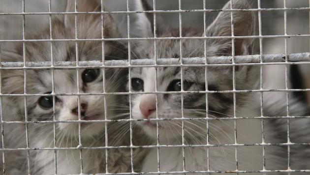 Beschlagnahmte Katzen in Vietnam lebendig begraben (Bild: thinkstockphotos.de (Symbolbild))