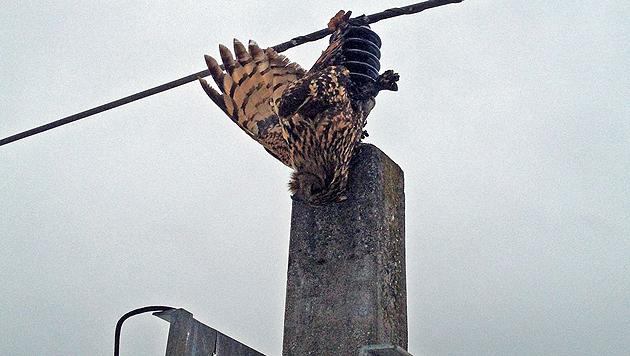 Ein Uhu, der durch einen tödlichen Stromschlag verendete. (Bild: M. Putz/BirdLife)