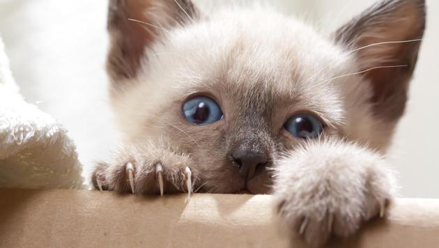 Katzenbaby getötet: Vier Monate Haft für Besitzer (Bild: thinkstockphotos.de (Symbolbild))