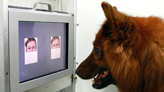 Hunde können Emotionen in Gesichtern unterscheiden (Bild: APA/Vetmeduni Wien/Clever Dog Lab)