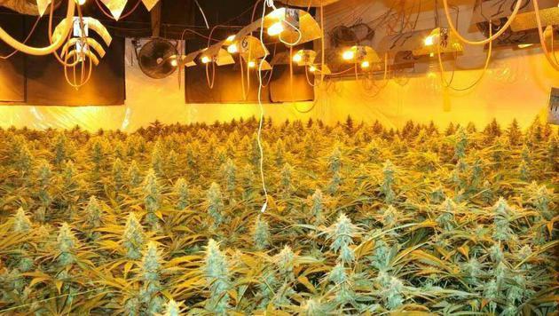 Die riesige Plantage erstreckt sich über 60 Quadratmeter. (Bild: APA/LPD WIEN/UNBEKANNT)