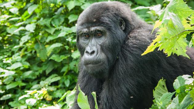Uganda: Ein Rendezvous im grünen Paradies (Bild: flickr.com/Helena Van Eykeren)