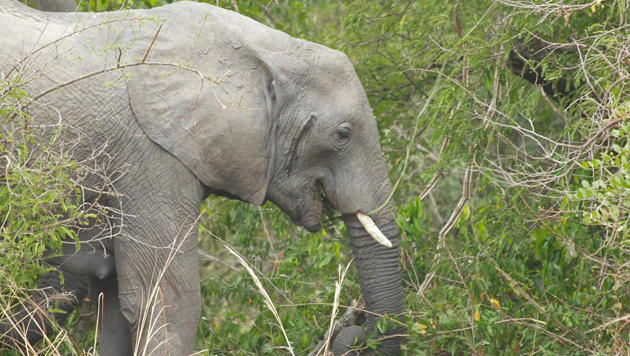 Uganda: Ein Rendezvous im grünen Paradies (Bild: flickr.com/Jonathan Assink)
