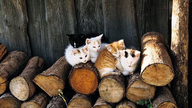 Um im Frühjahr nicht mit Jungen überrascht zu werden, muss man seine Katze kastrieren lassen. (Bild: Vier Pfoten)