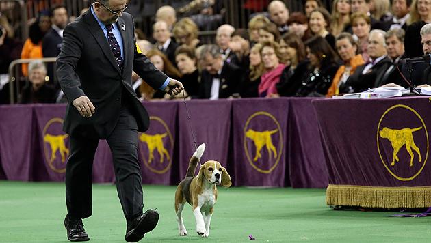"""Beagle """"Miss P"""" ist der schönste Hund der USA (Bild: AP)"""