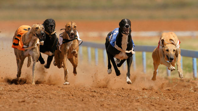 Quälerei beim Windhund-Training erbost Australier (Bild: thinkstockphotos.de (Symbolbild))